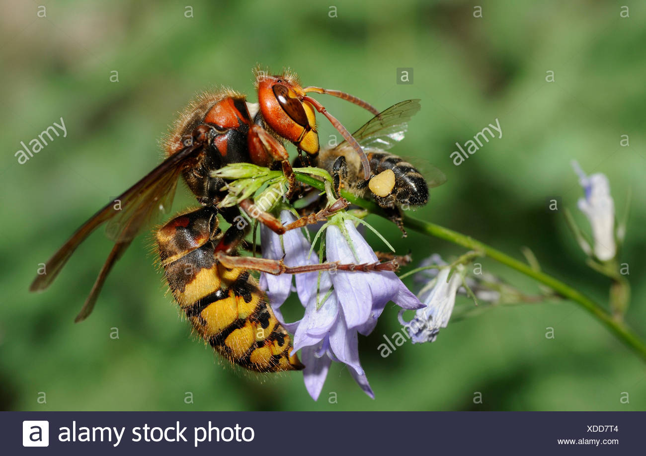 Hornet queen capturing a Honeybee - Northern Vosges - Stock Image