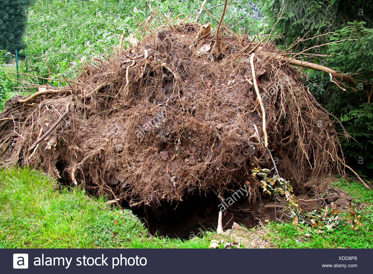 tree roots of disrooted ash, storm front Ela at 2014-06-09, Germany, North Rhine-Westphalia, Ruhr Area, Essen - Stock Image