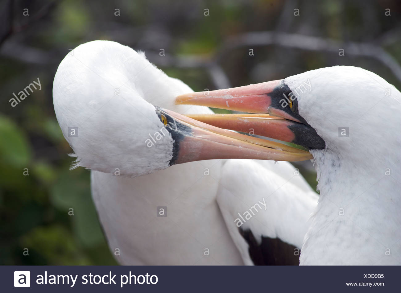 Nazca Booby birds.  Pair on ground nest bonding and grooming in close up. Espanola Island, Galapagos Islands, Pacific. - Stock Image