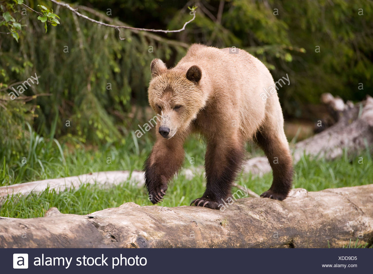Grizzly bear Ursus arctos horribilis Knight Inlet British Columbia - Stock Image