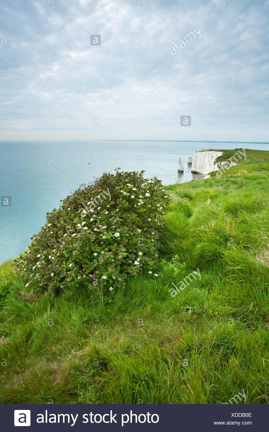 Wayfaring tree (Viburnum lantana) growing on the clifftop near Old Harry Rocks on the Dorset Coast, Uk - Stock Image