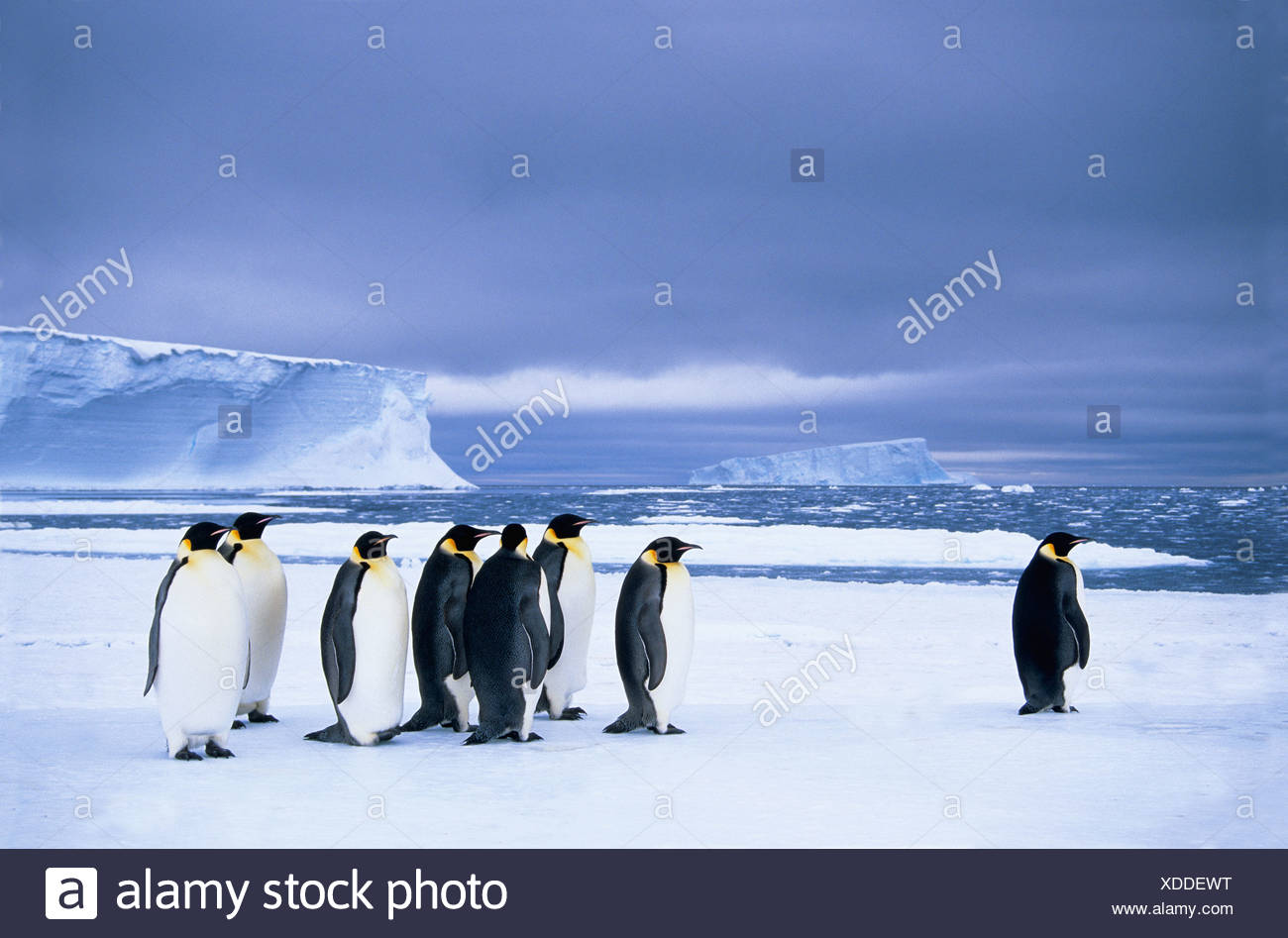 Emperor penguins (Aptenodytes forsteri) wait at the edge of the pack ice in preparation for a foraging journey out to sea, Dresc - Stock Image