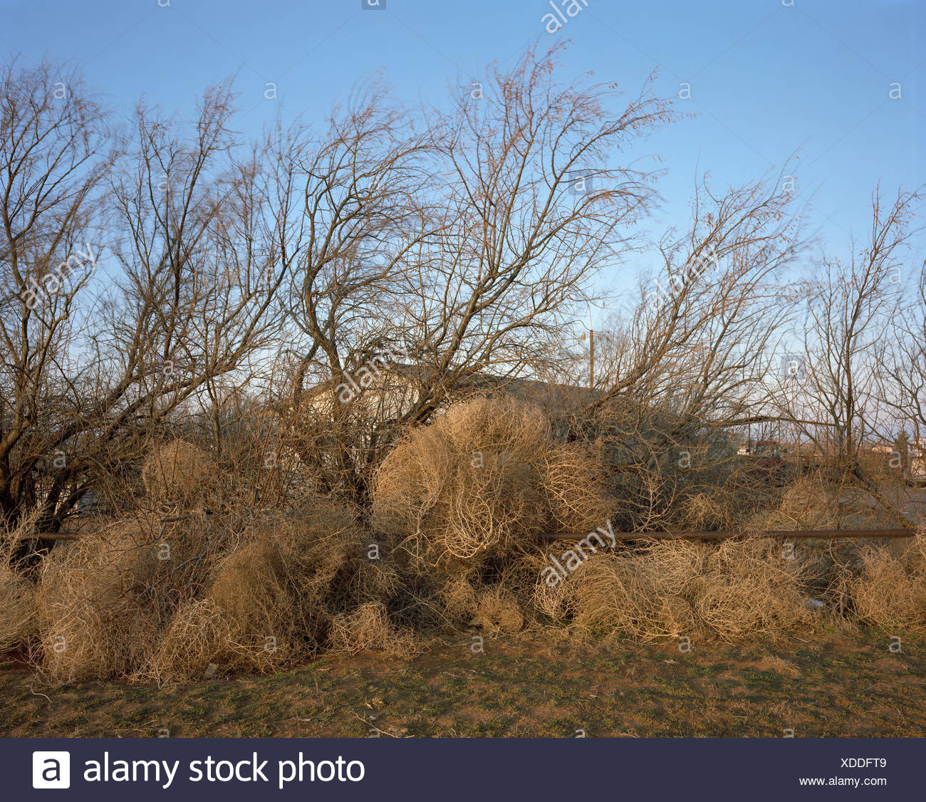 Tumbleweeds obscure a home from view. Stock Photo