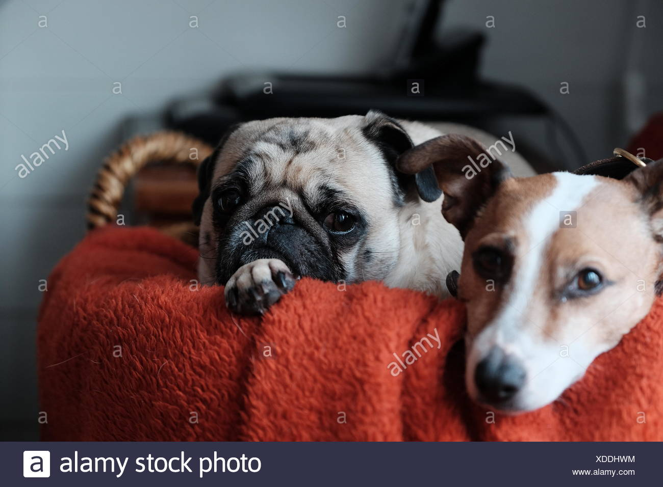 Portrait Of Puppies In Basket At Home - Stock Image