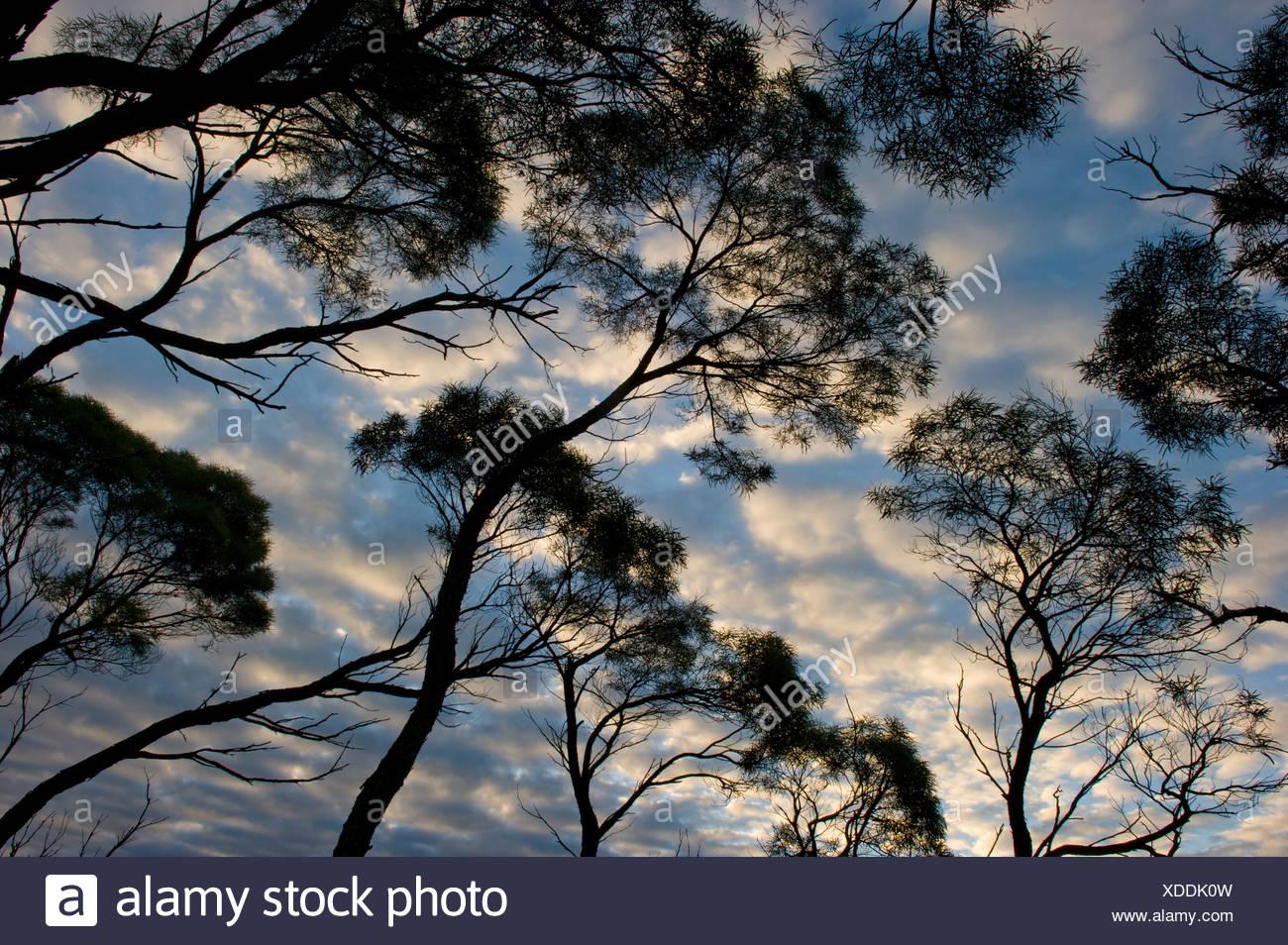 A dramatic morning sky highlight the eucalyptus tree canopy. - Stock Image