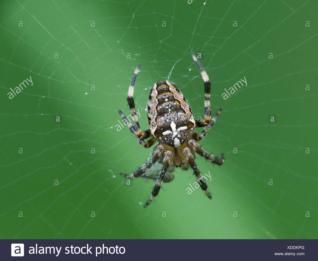 spider prey booty - Stock Image