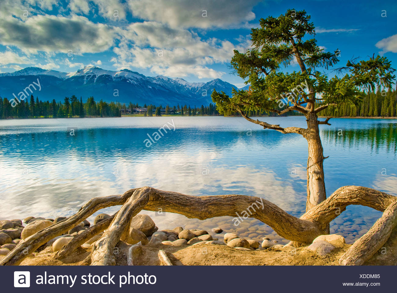 Ragged tree overlooks beautiful Lac Beauvert and The Fairmont Jasper Park Lodge, near Jasper, Alberta, Canada. - Stock Image