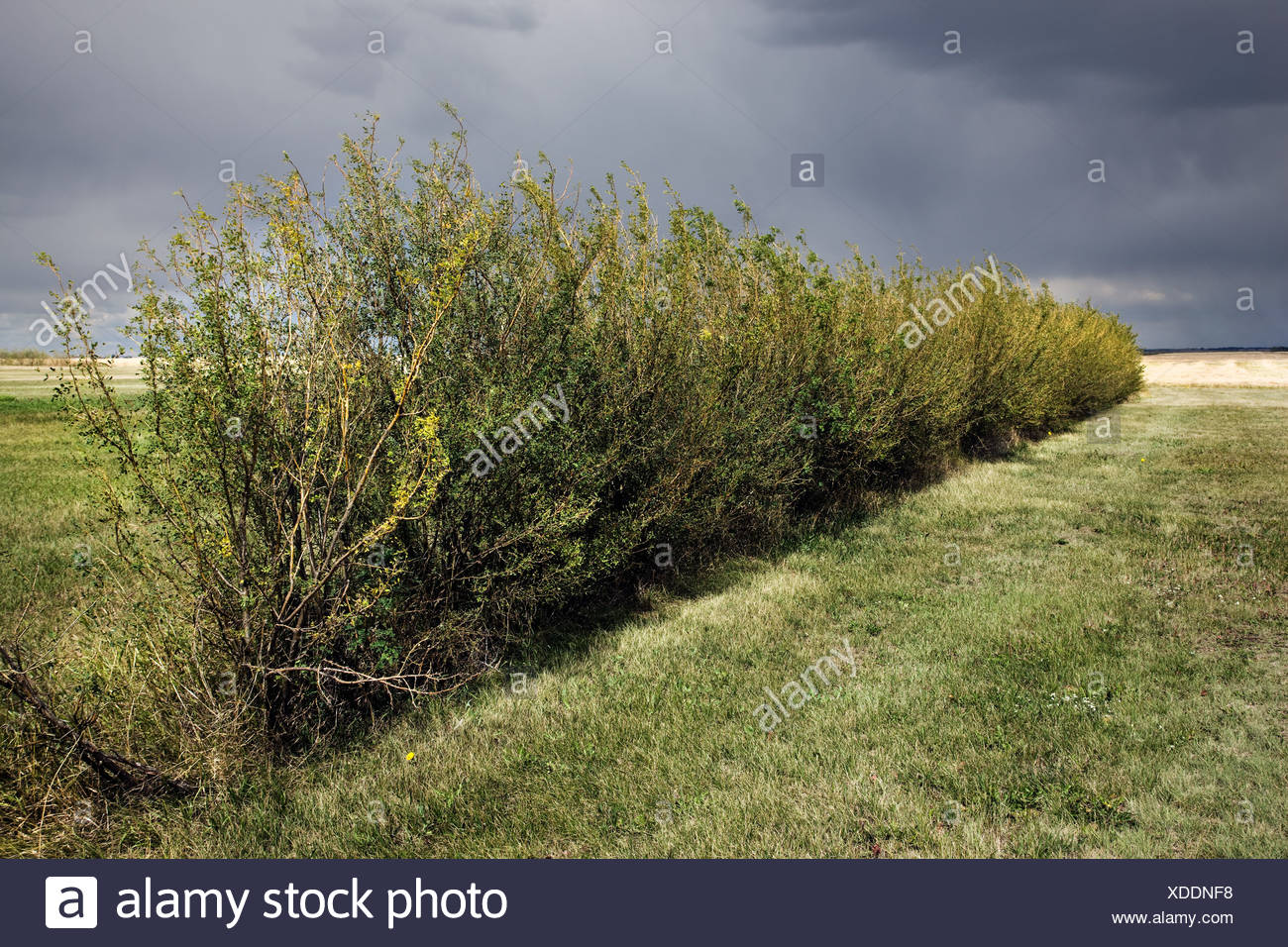 Green hedge in field - Stock Image