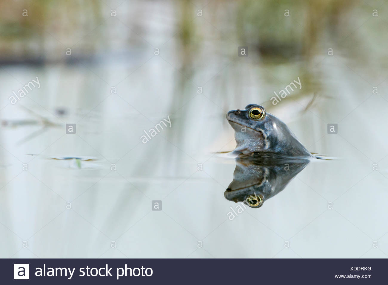 Moor frog (Rana arvalis) in water, reflection, Dümmer See, Diepholz, Lower Saxony, Germany - Stock Image