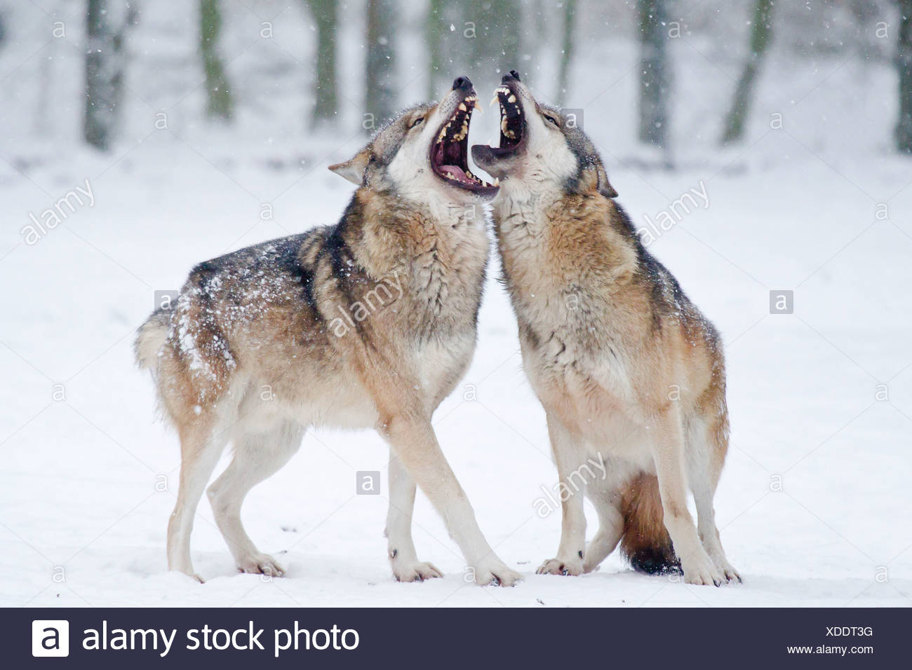Two howling wolves (Canis lupus) in the snow - Stock Image