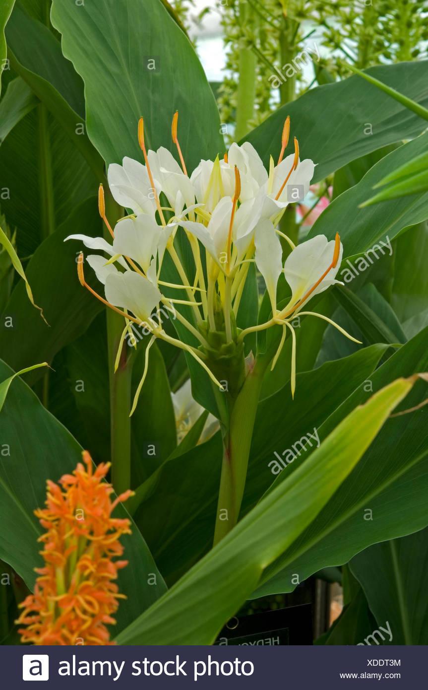 White Ginger Lily Hedychium Coronarium Stock Photo 283660712 Alamy