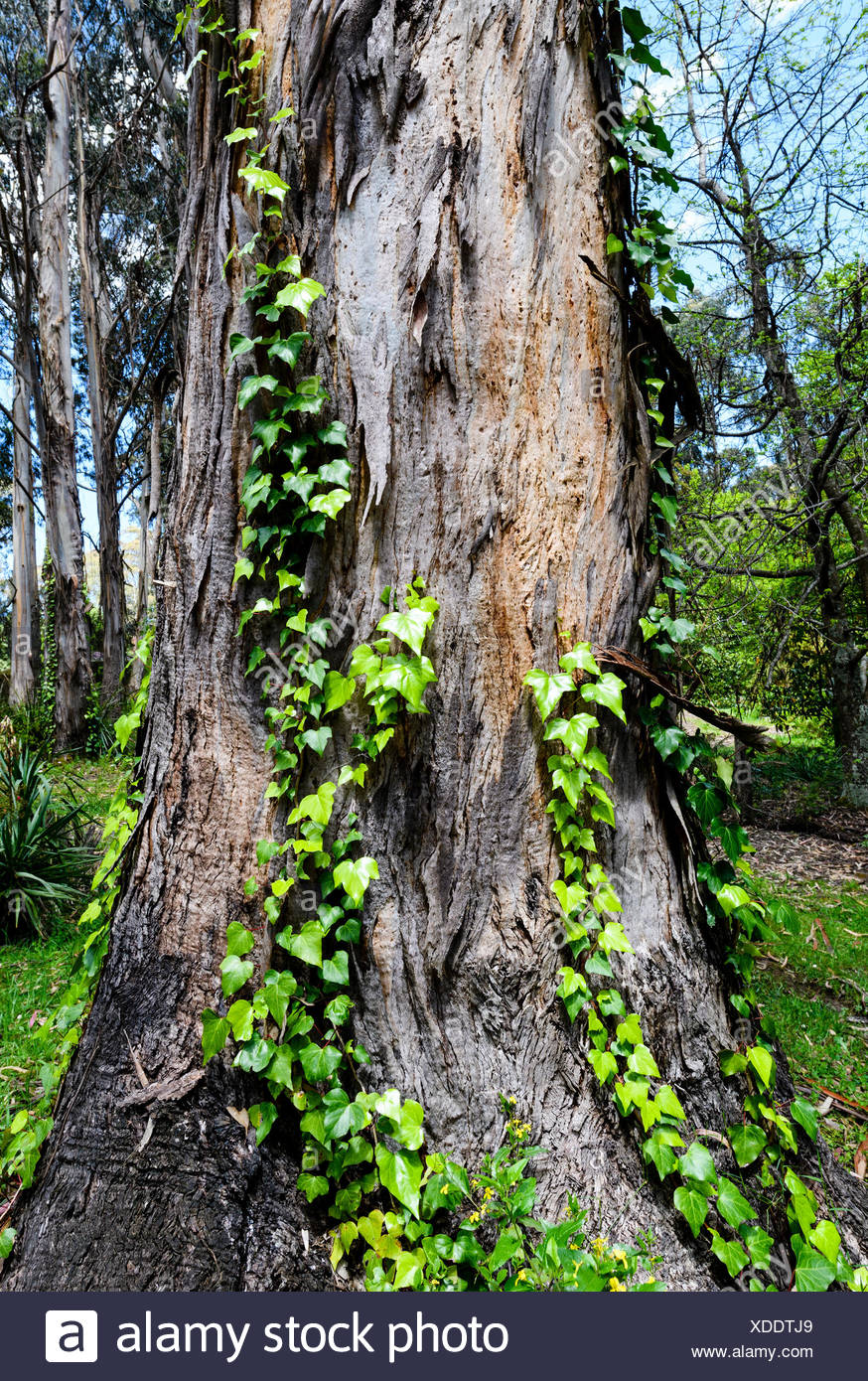 Common Ivy vine growing up a eucalyptus tree trunk. - Stock Image