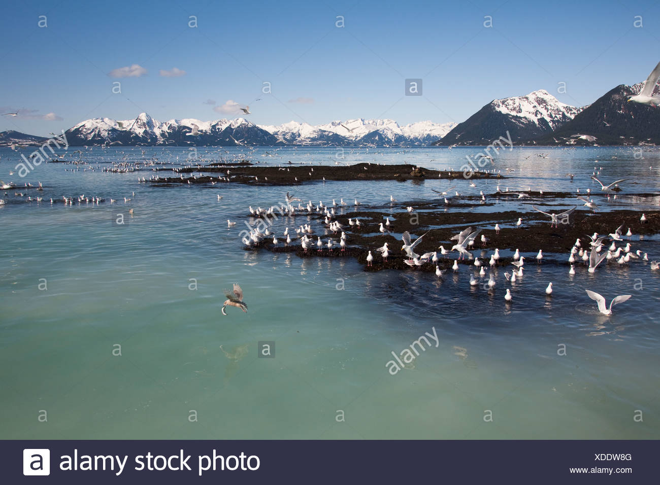 Glaucous-winged gulls catching herring at herring spawn, Hell's Hole, Prince William Sound, Southcentral Alaska, Spring - Stock Image