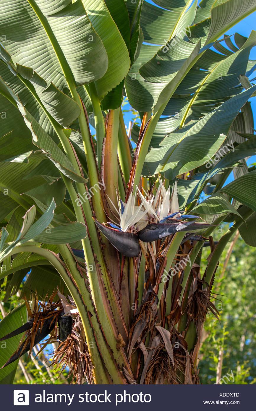 white bird of paradise (Strelitzia nicolai), flowering, USA, Florida, Kissimmee - Stock Image