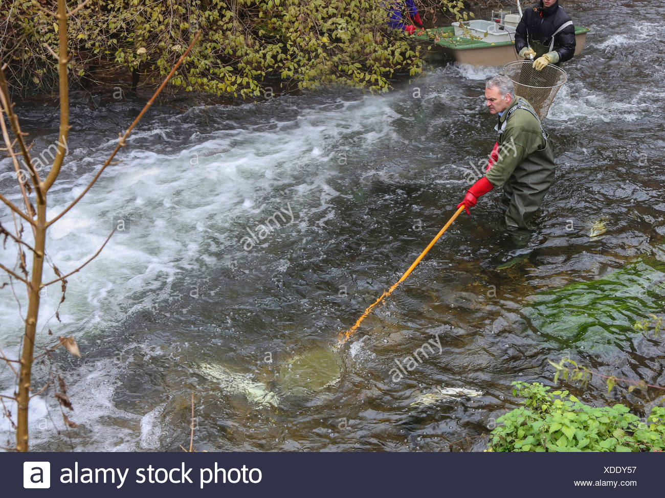 electrofishing in a river for population control, Germany - Stock Image
