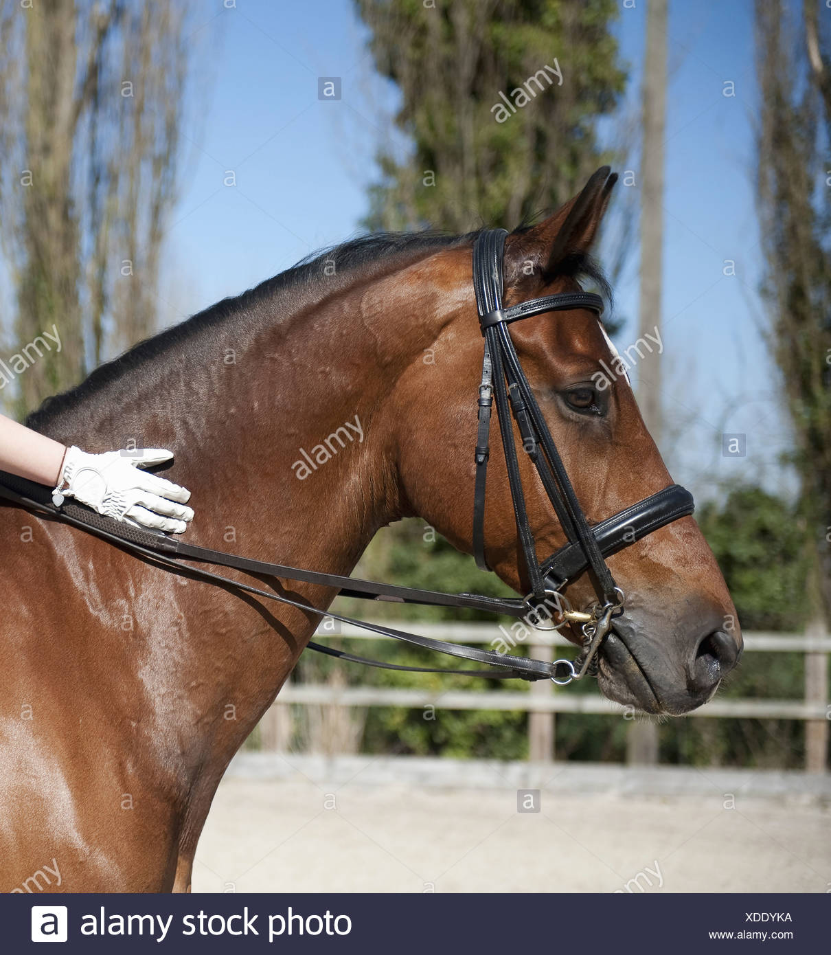 Side view A bay horse with a bridle  A rider's gloved hand on the glossy brown hide of the neck  England - Stock Image
