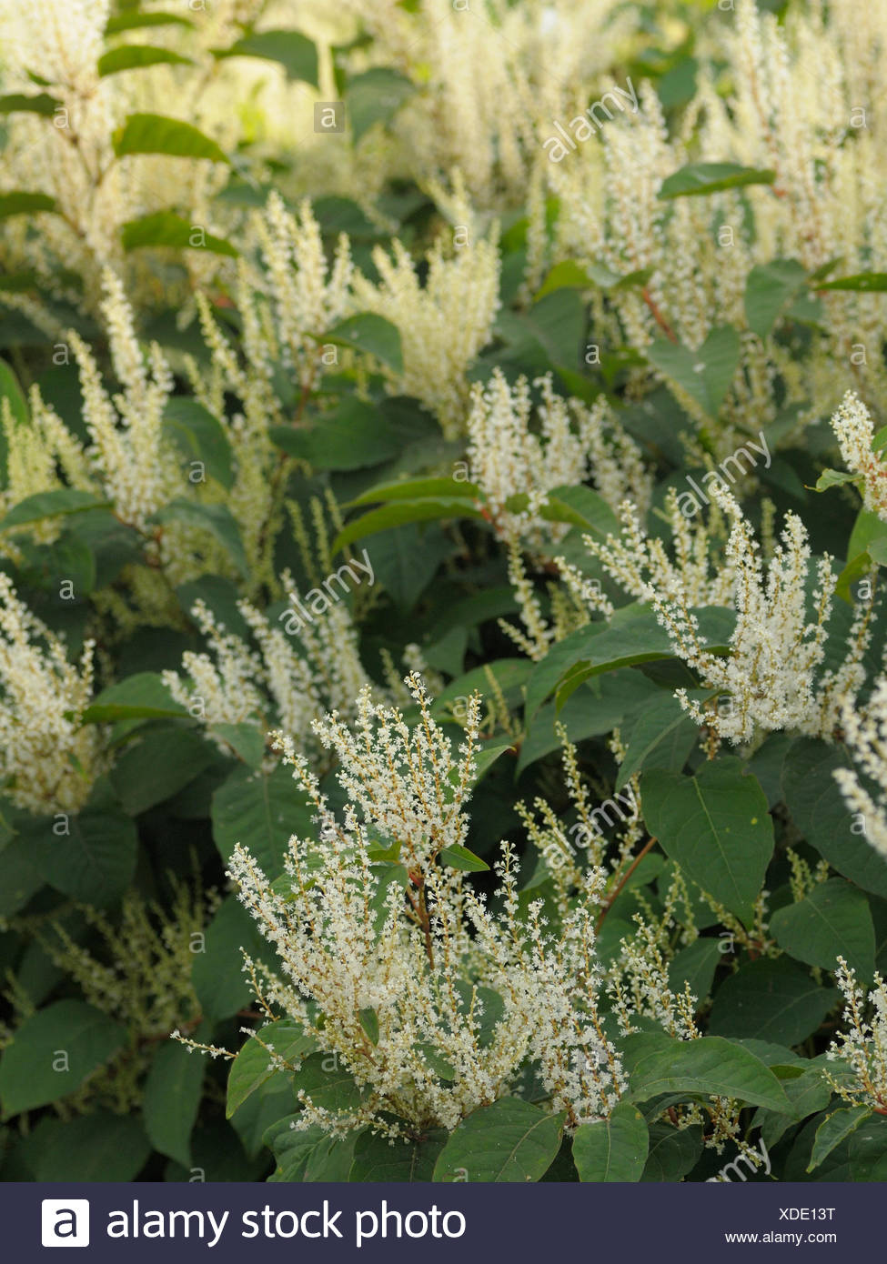 Japanese knotweed (Fallopia japonica) native to Eastern Asia In Europe species very successful has been classified as invasive - Stock Image