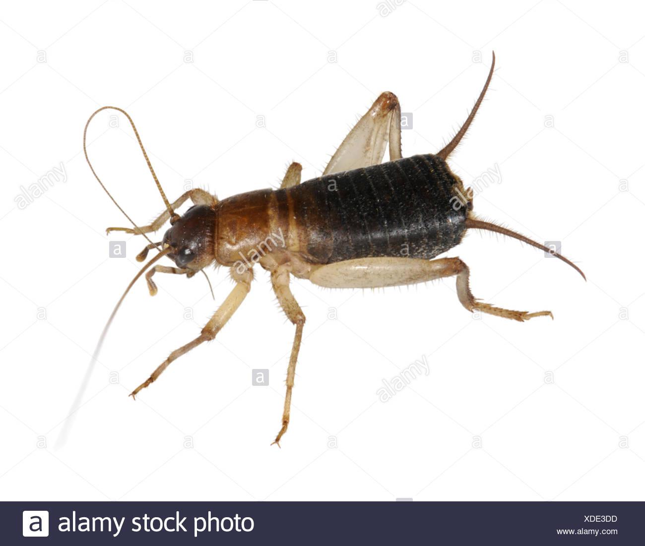 Scaly Cricket - Pseudomogoplistes vincentae - Stock Image