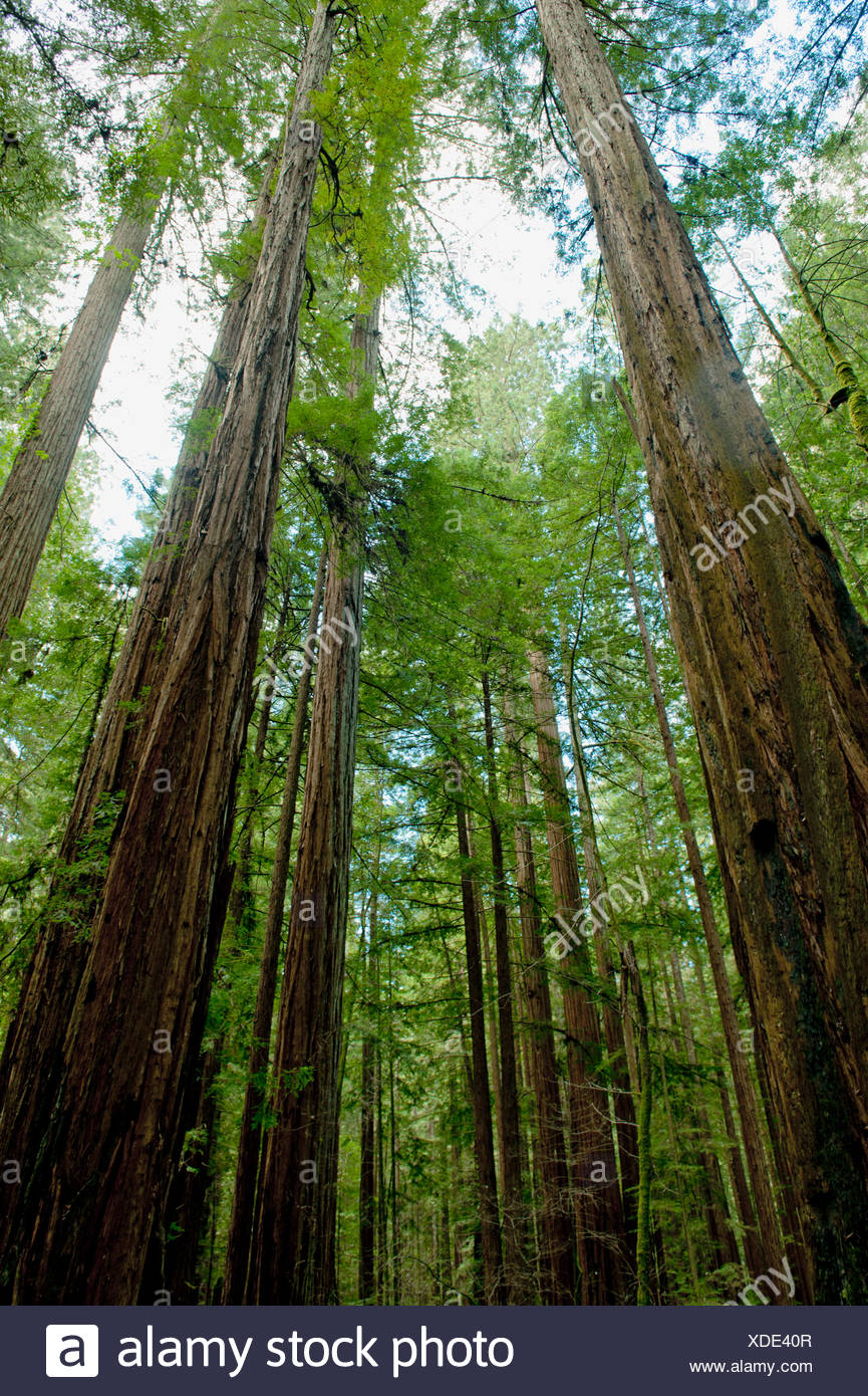 USA, California, Sonoma County, Armstrong Redwoods State Park, Sequoia sempervirens (California redwood) - Stock Image