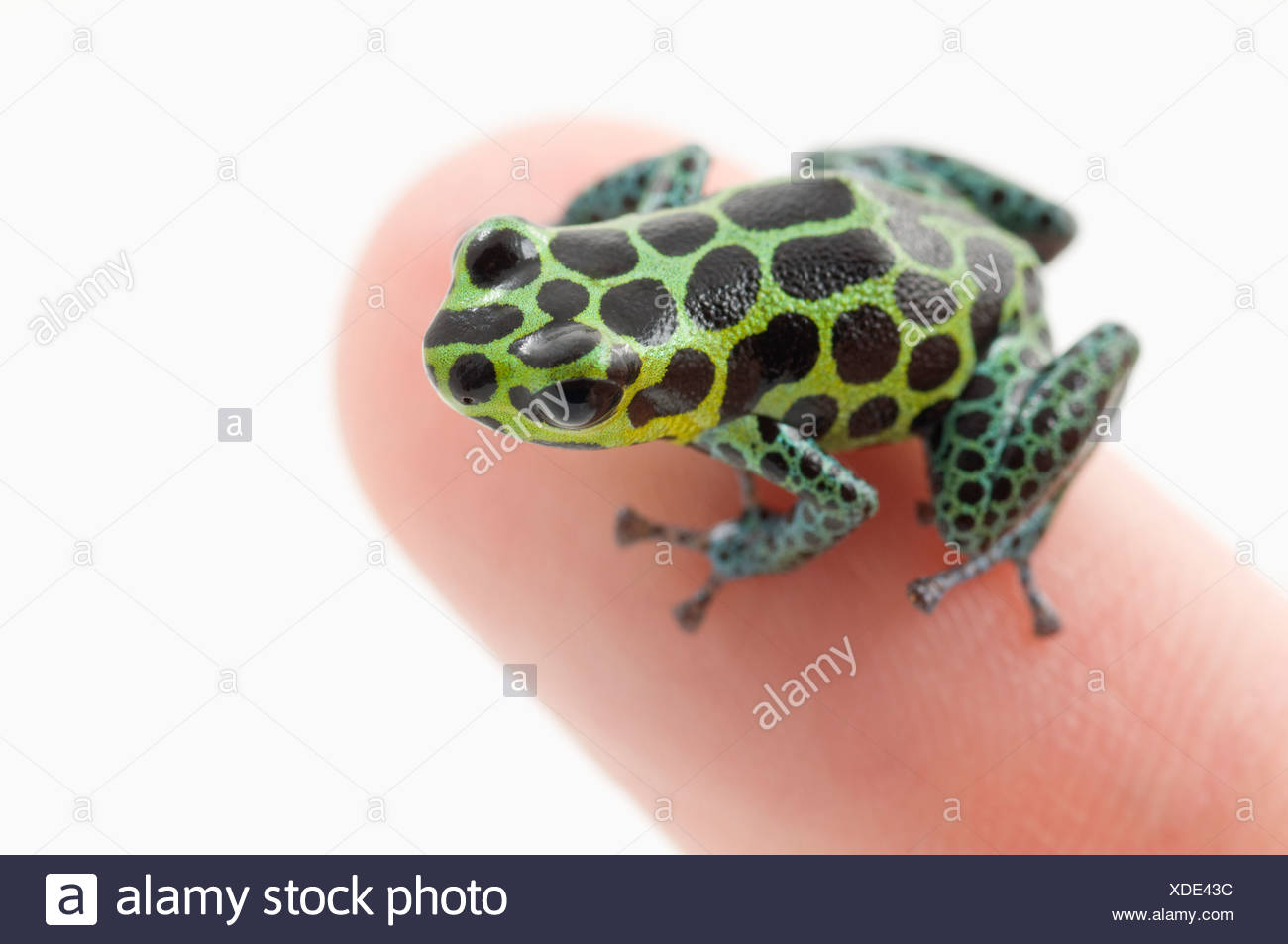 Black Spotted Green Poison Dart Frog (Ranitomeya Imitator) On A Person's Finger Stock Photo