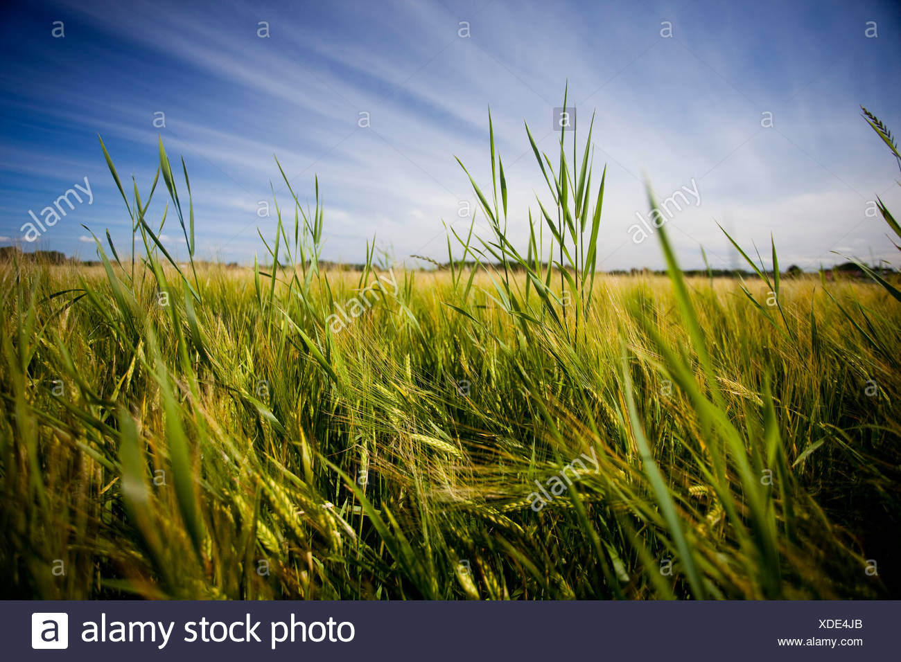 Field in the wind - Stock Image