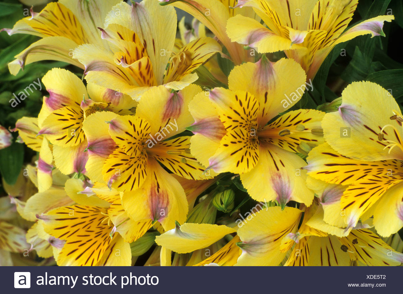 Alstroemeria 'Princess Angela' - Stock Image