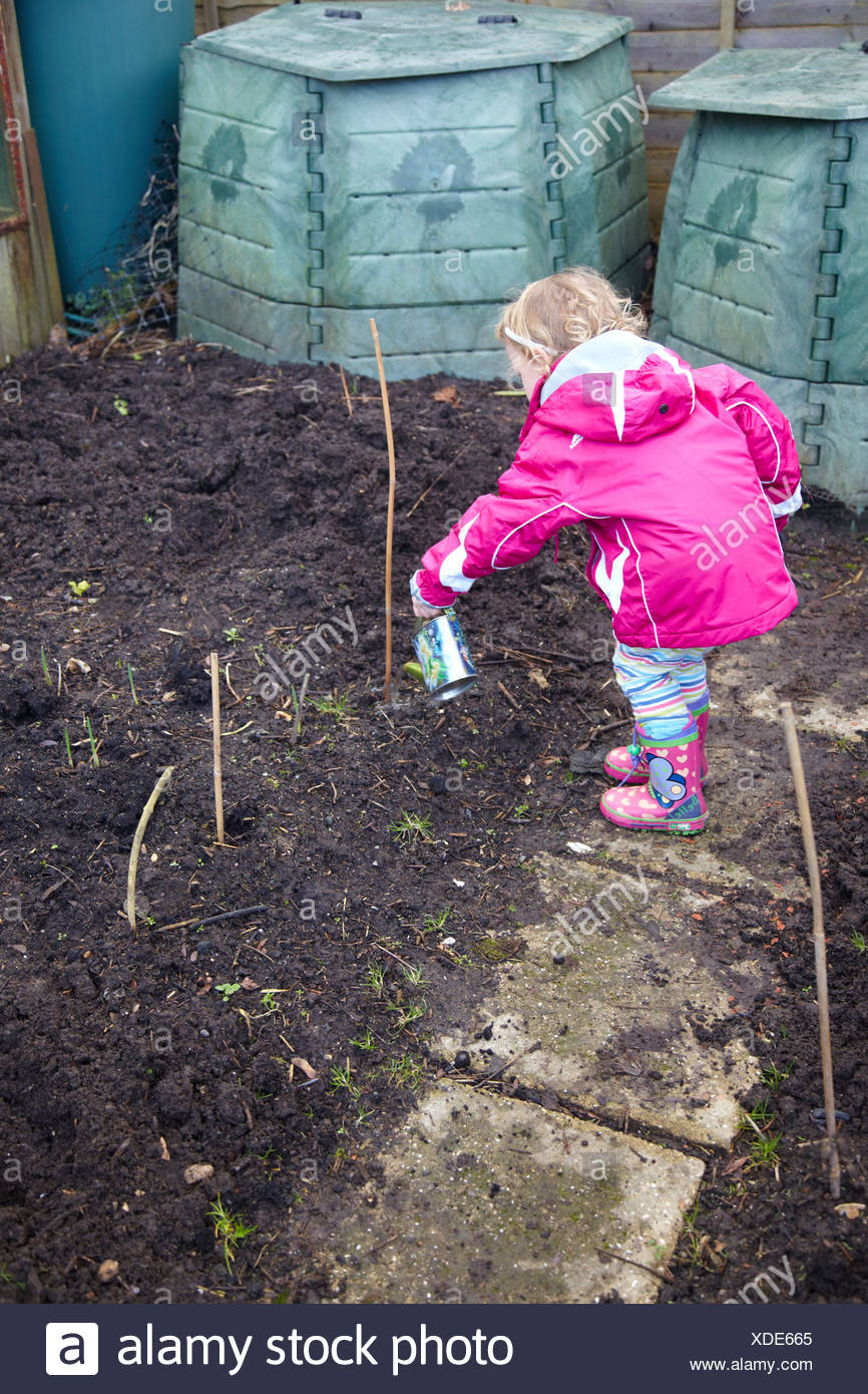 Little girl watering garlic shoot on an allotment  Variety: Solent Wight, British grown Stock Photo