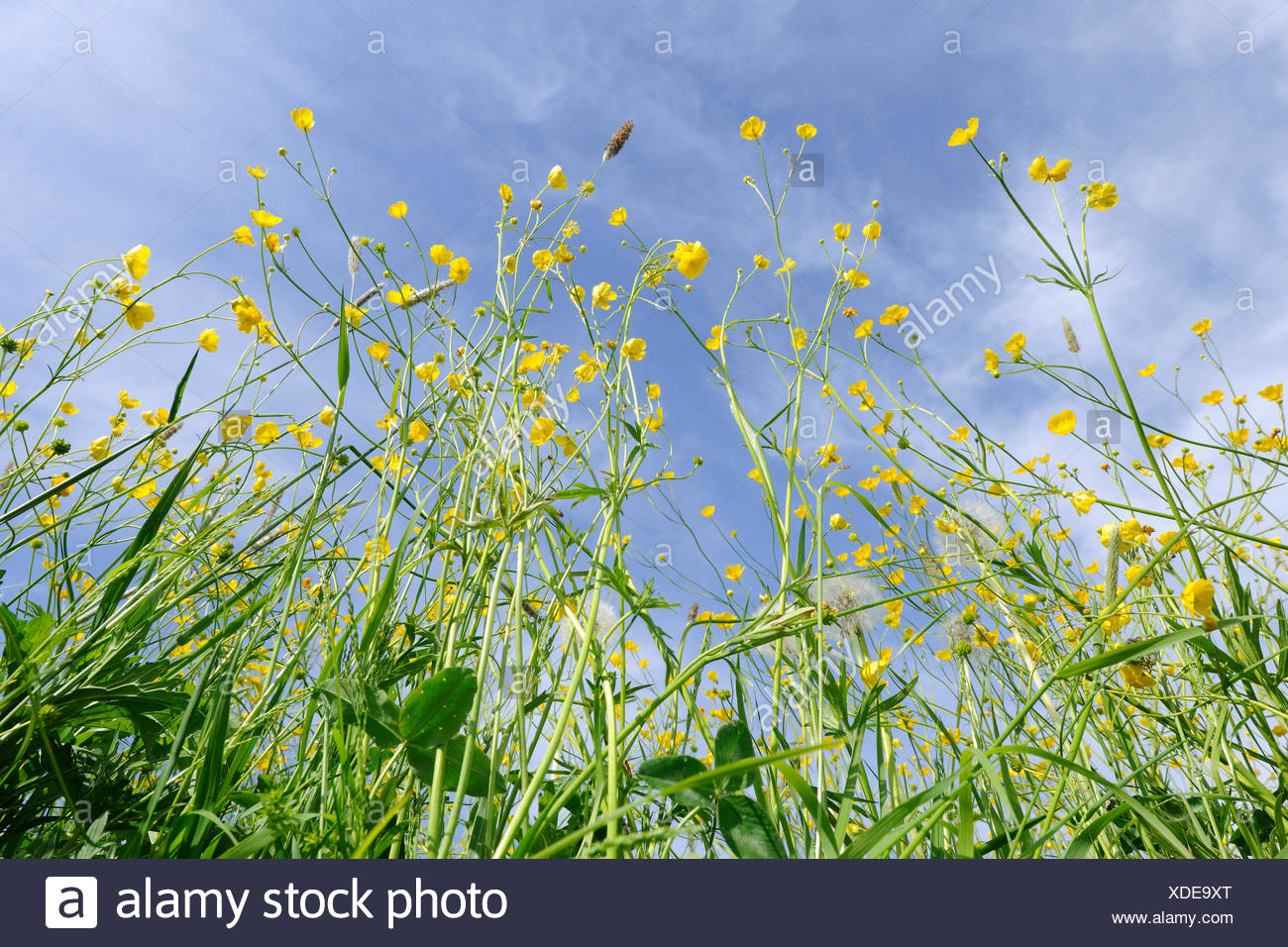 Meadow Buttercups, Tall Buttercups or Giant Buttercups (Ranunculus acris), in flower against a blue sky, Thuringia, Germany - Stock Image