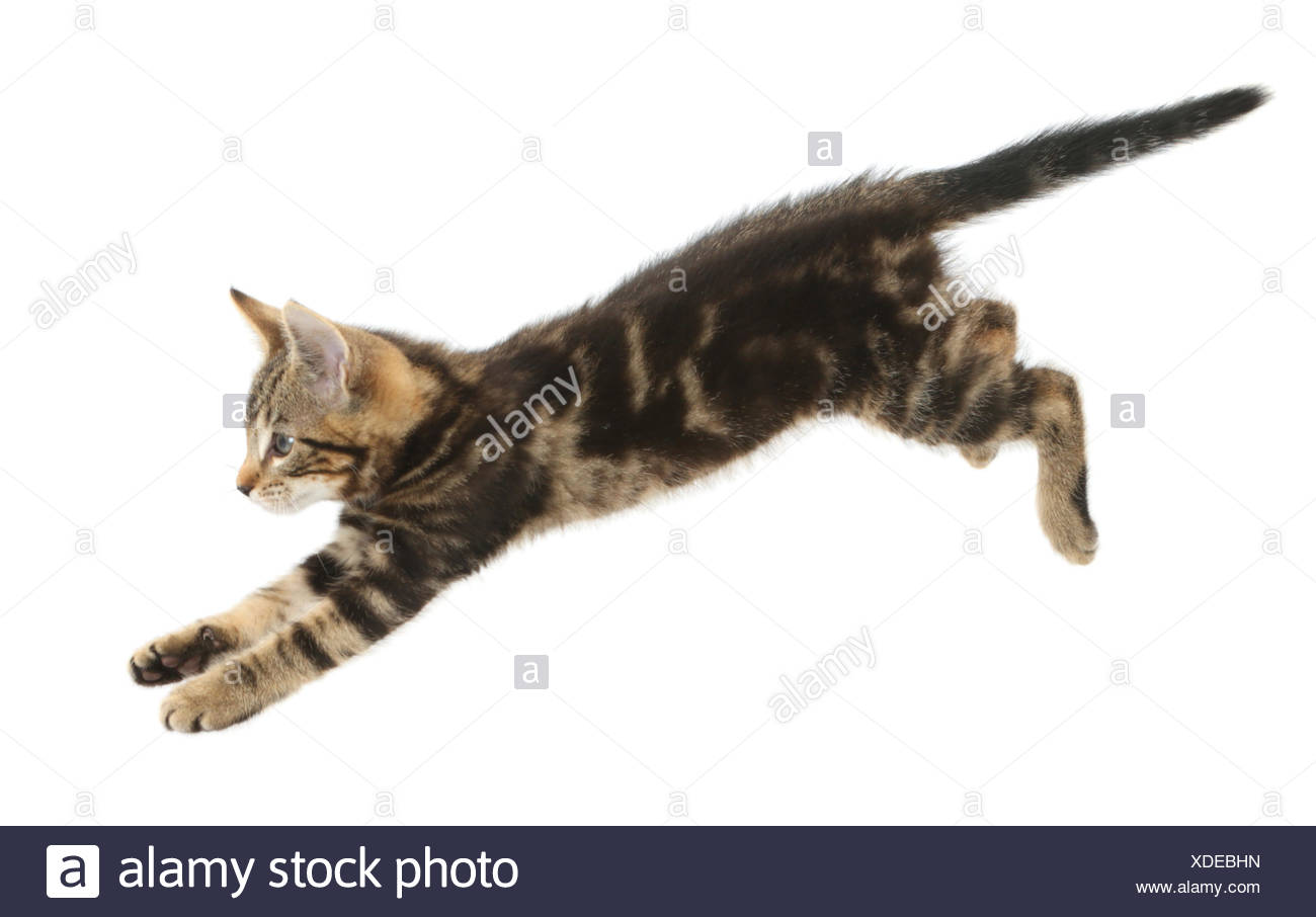 Tabby kitten, Picasso, 10 weeks, leaping. - Stock Image