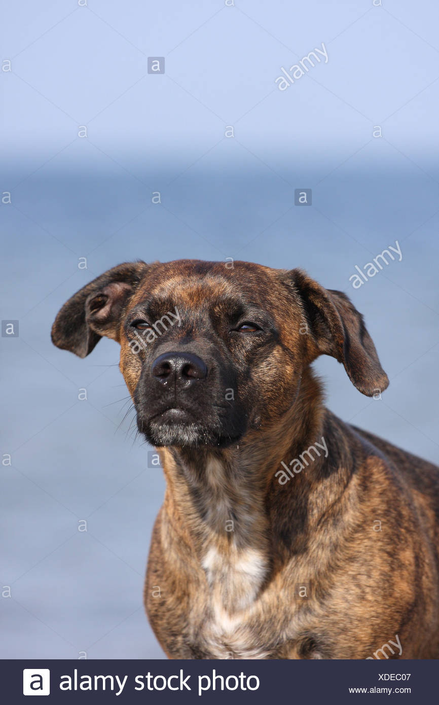 mongrel portrait - Stock Image