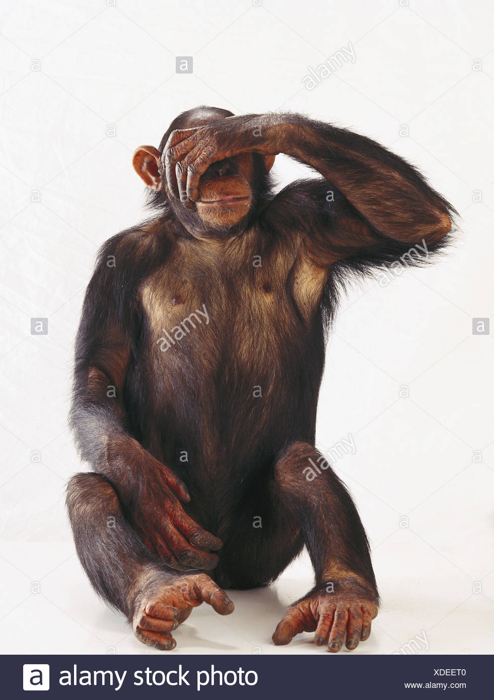 Chimpanzee, Pan troglodytes, gesture, 'nothing see' mammals, mammal, wild animals, wild animal, monkey, Lord's animals, primate, primates, big apes, ape, sit, eyes keep closed, studio - Stock Image