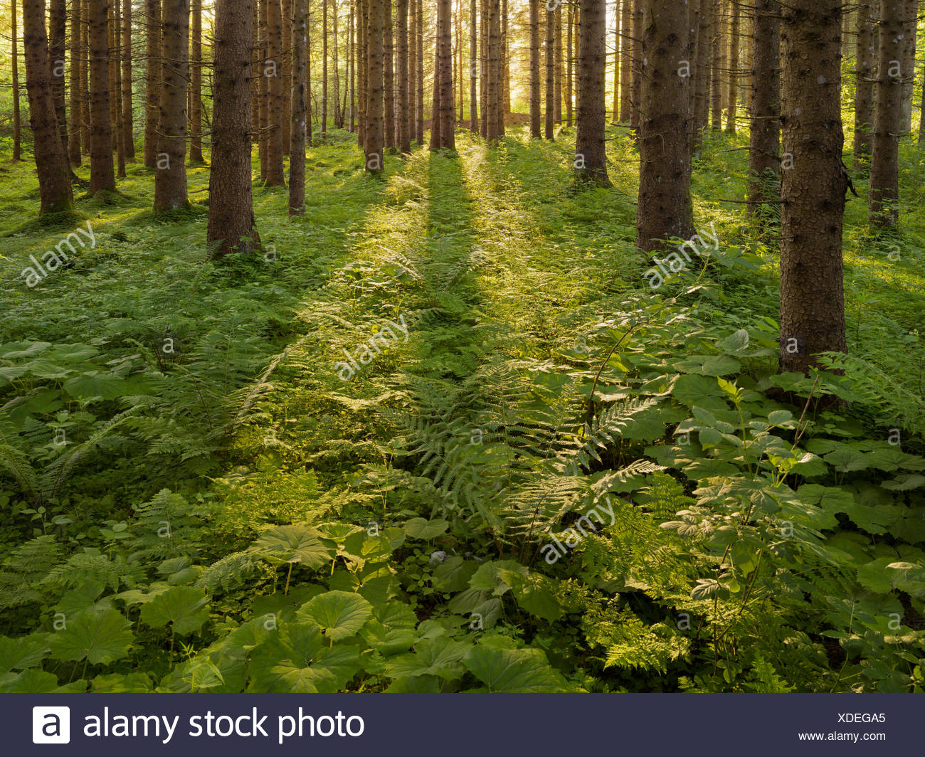 Spruces monoculture in the Ennstal, near Admont, Styria, Austria - Stock Image