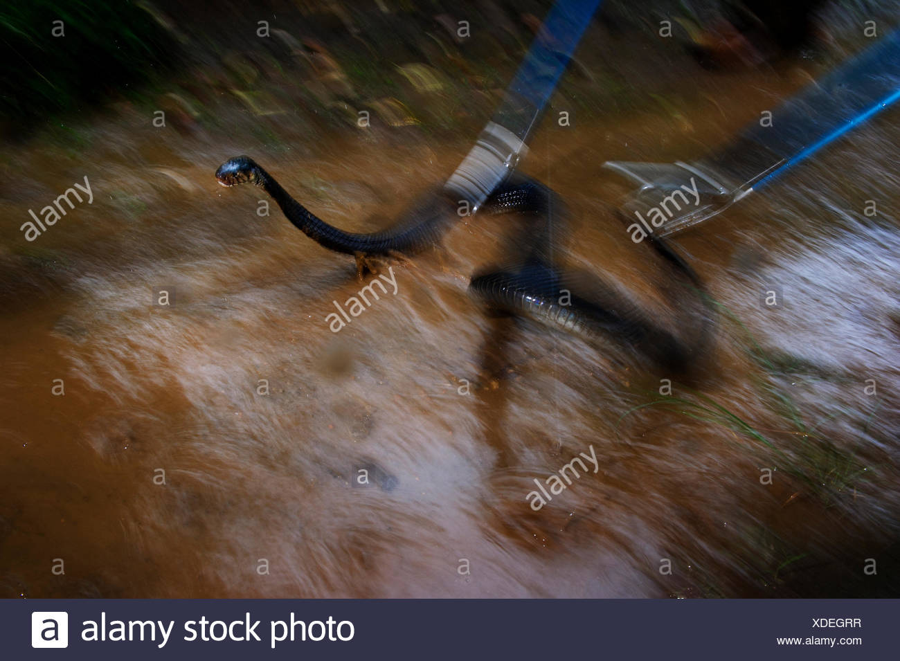A toxologist catches a venomous forest cobra in the rain. - Stock Image