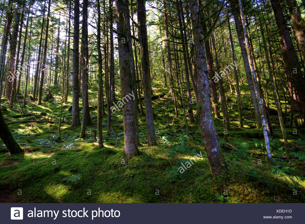 Magical moss covered temperate rain forest near Harrison Mills, BC - Stock Image