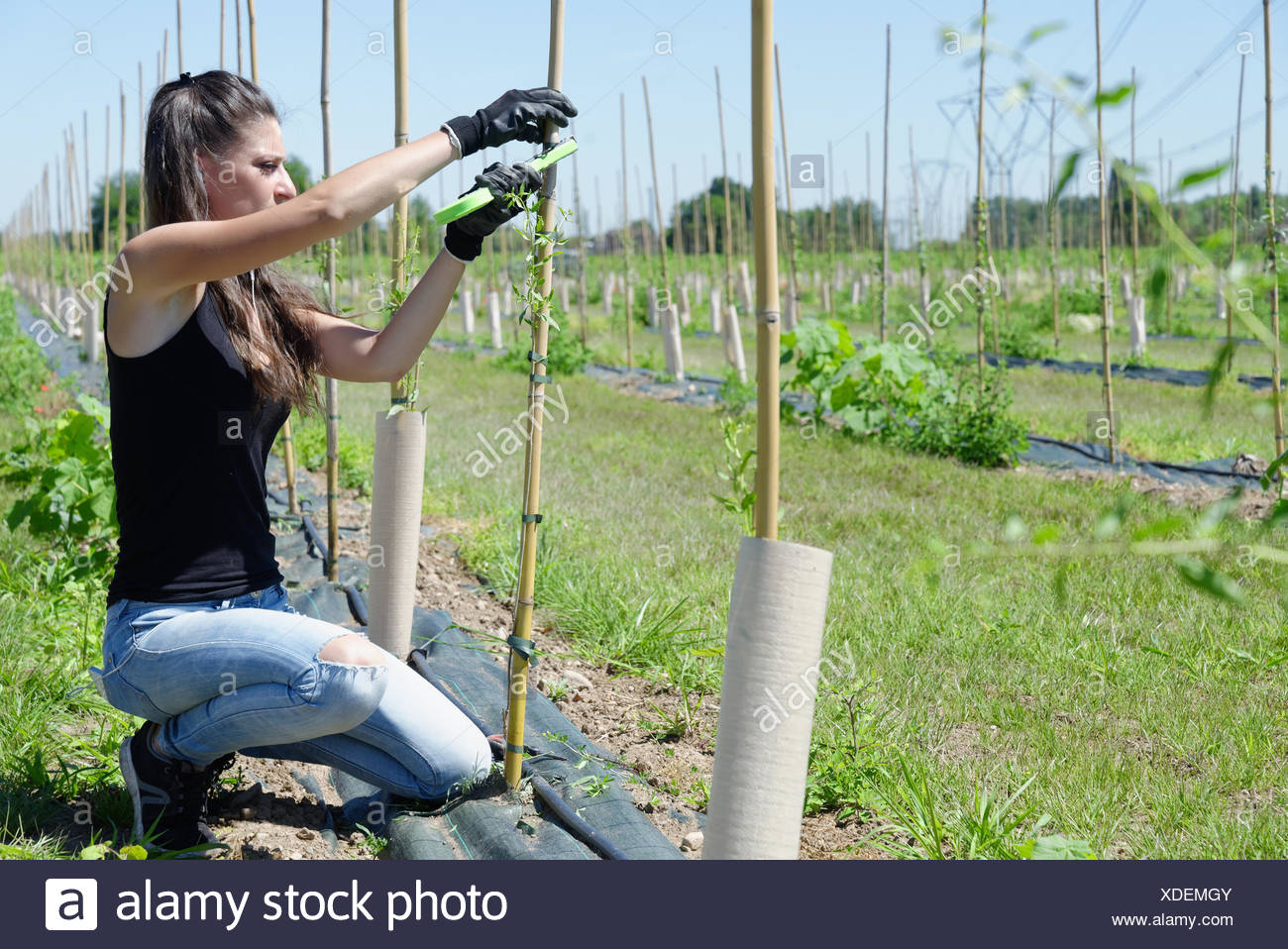 Young Female Plantation Worker Tending Goji Berry Plant In Field