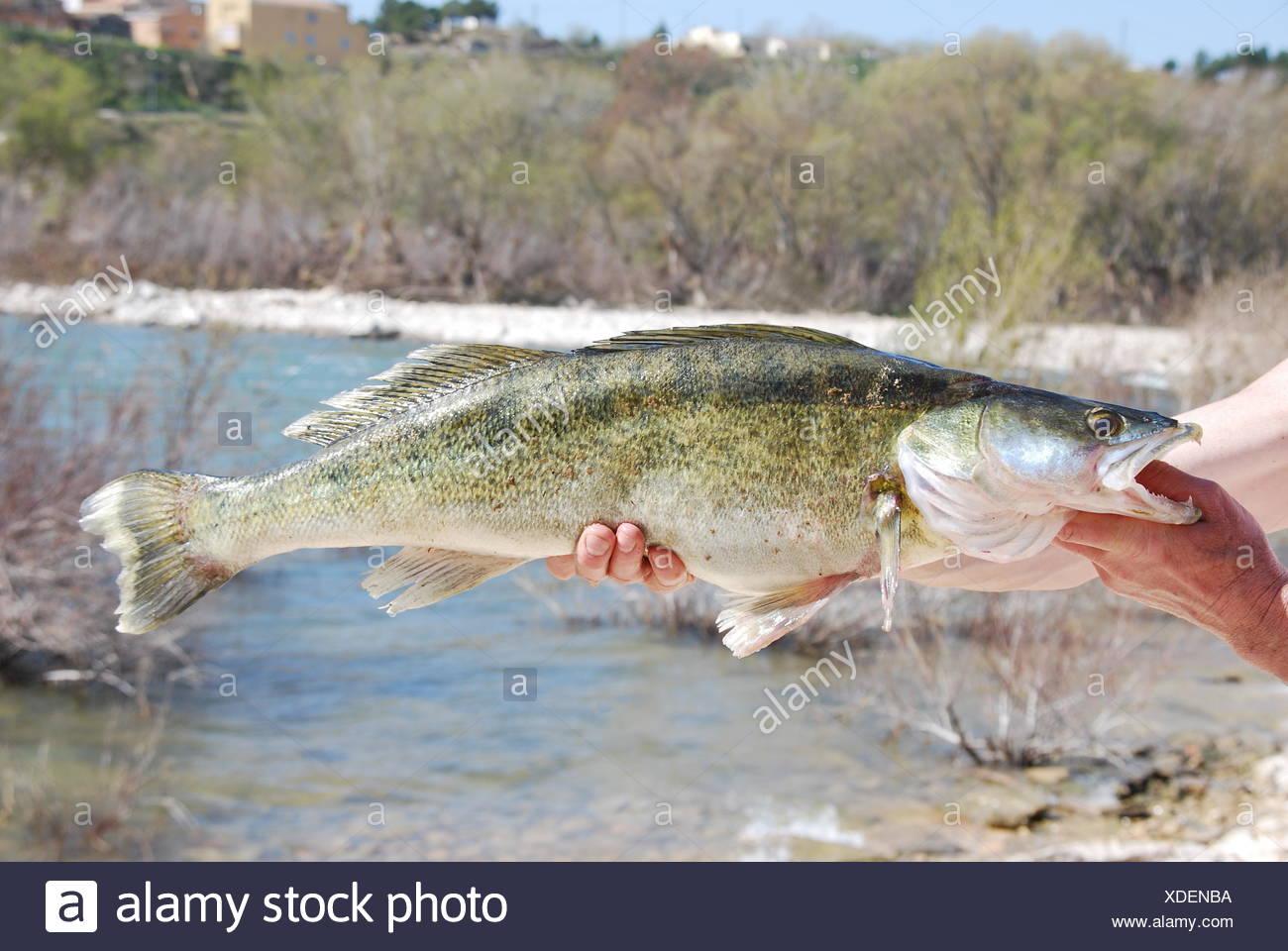 hand fish zander Stock Photo