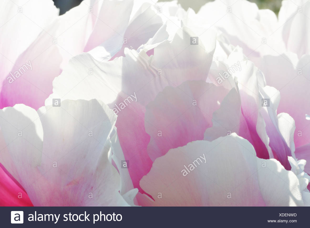 Close up of pink and white petaled flowerhead Stock Photo