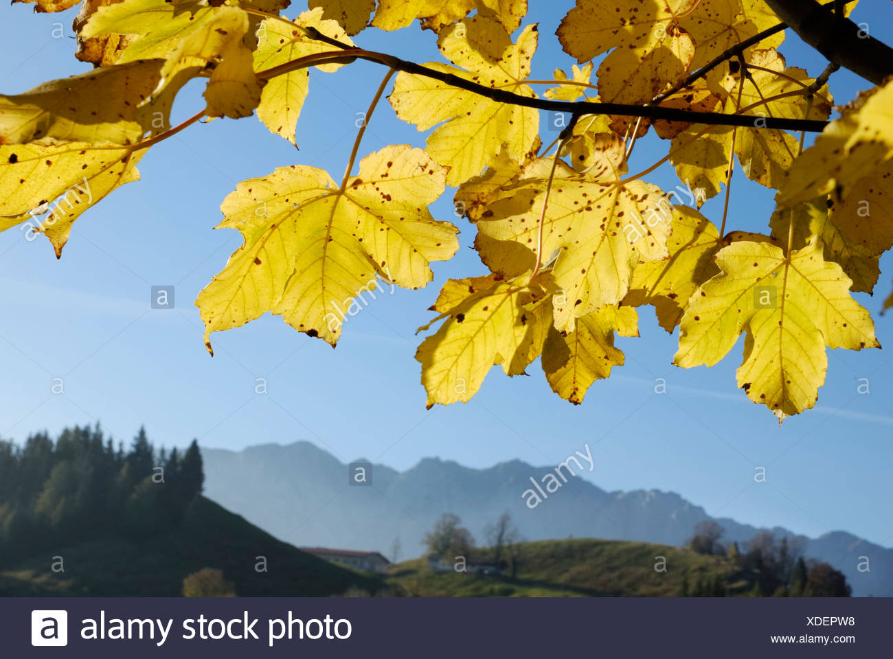 Maple leaves in autumnal colours Stock Photo