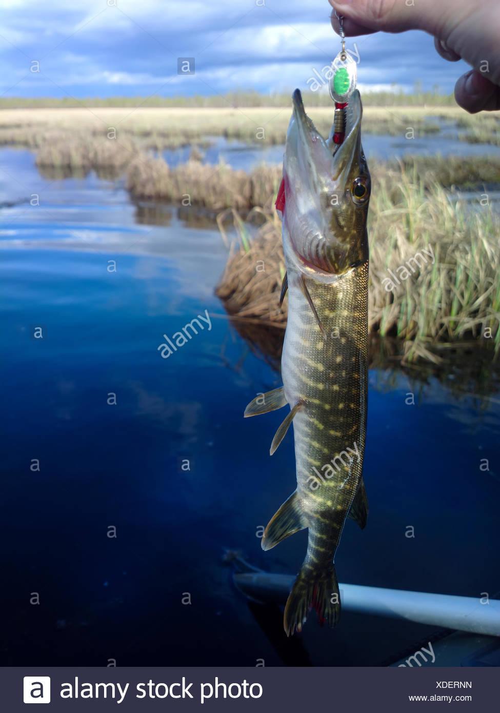 pike lake fishing on spinning Stock Photo