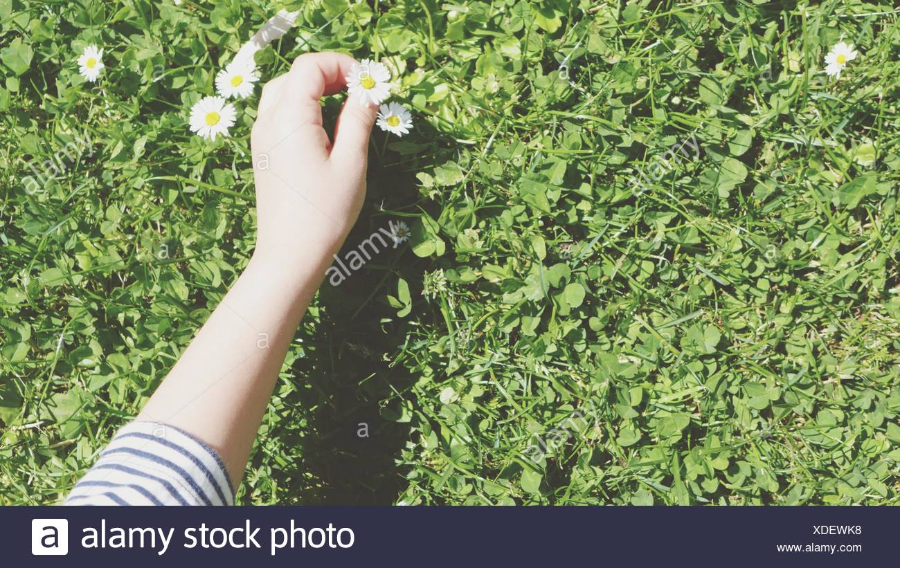 Cropped Image Of Woman Holding Daises On Field - Stock Image