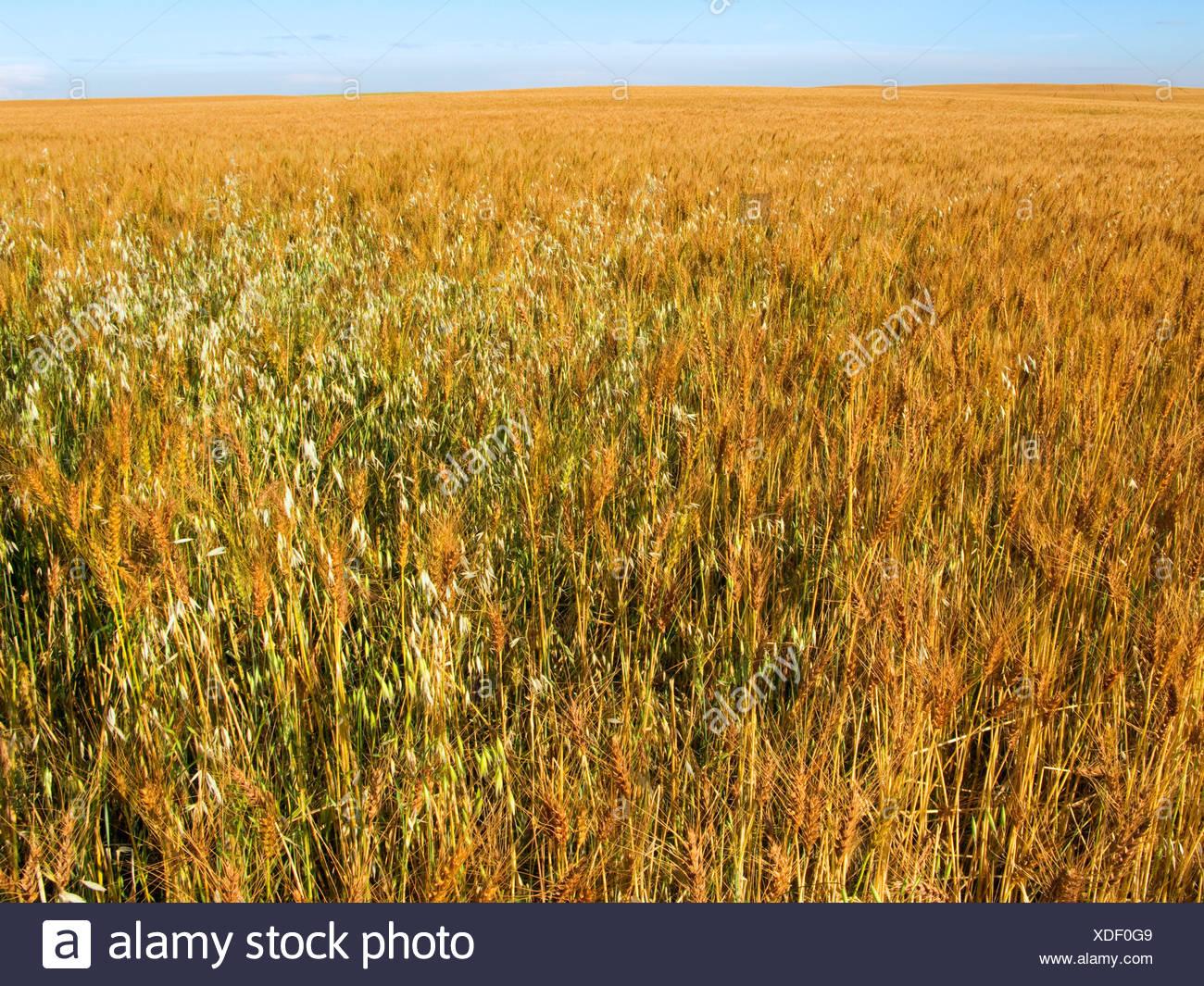 Livestock - Wild oat (Avena fatua) patch infests a ripening grain field / Alberta, Canada. Stock Photo