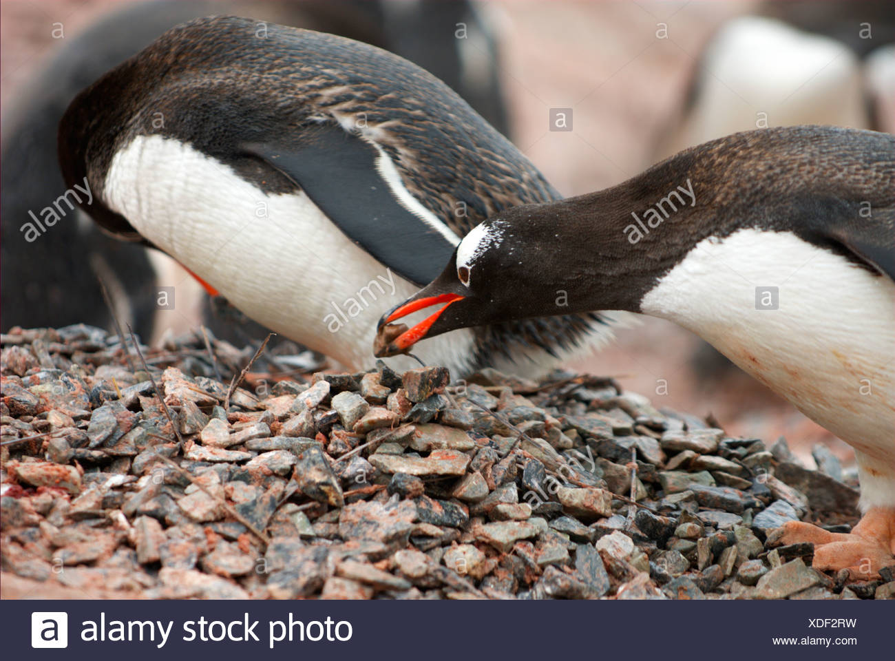 Gentoo penguin lifting a small stone with his bill - Stock Image