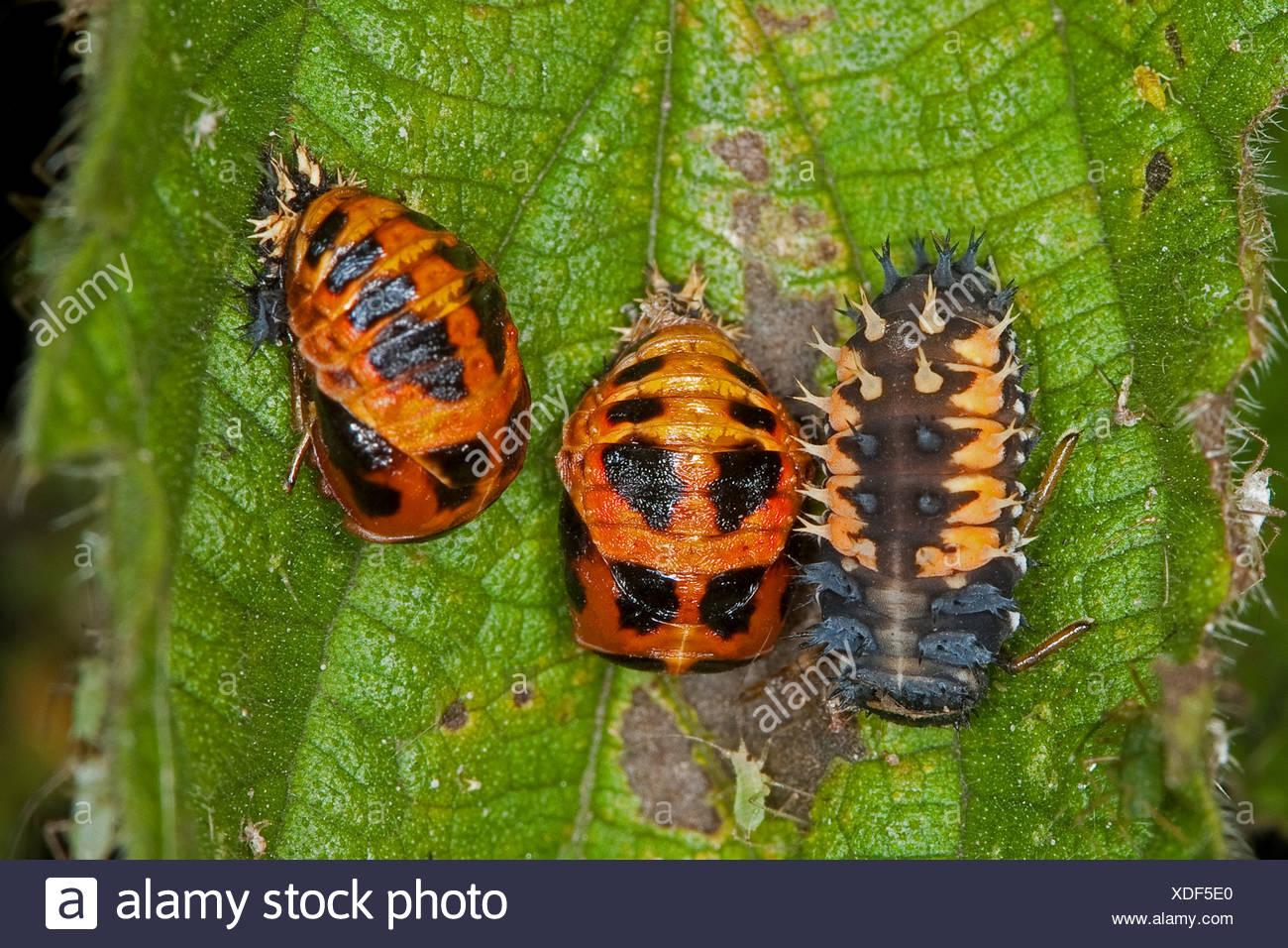 multicoloured Asian beetle (Harmonia axyridis), larva and pupas on a leaf, Germany - Stock Image