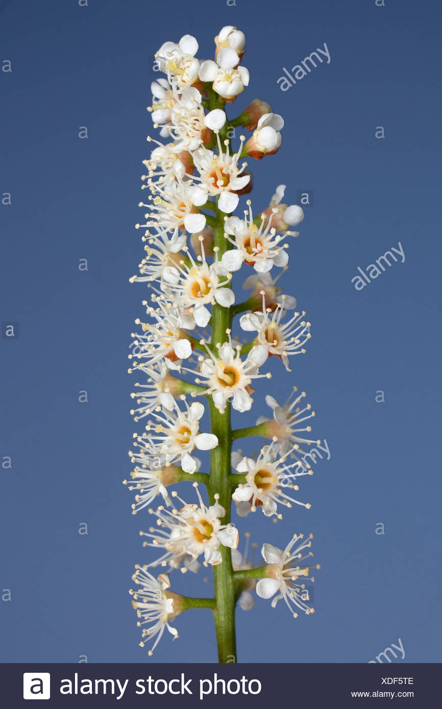 Prunus laurocerasus, Laurel, White flower subject, Blue background. - Stock Image