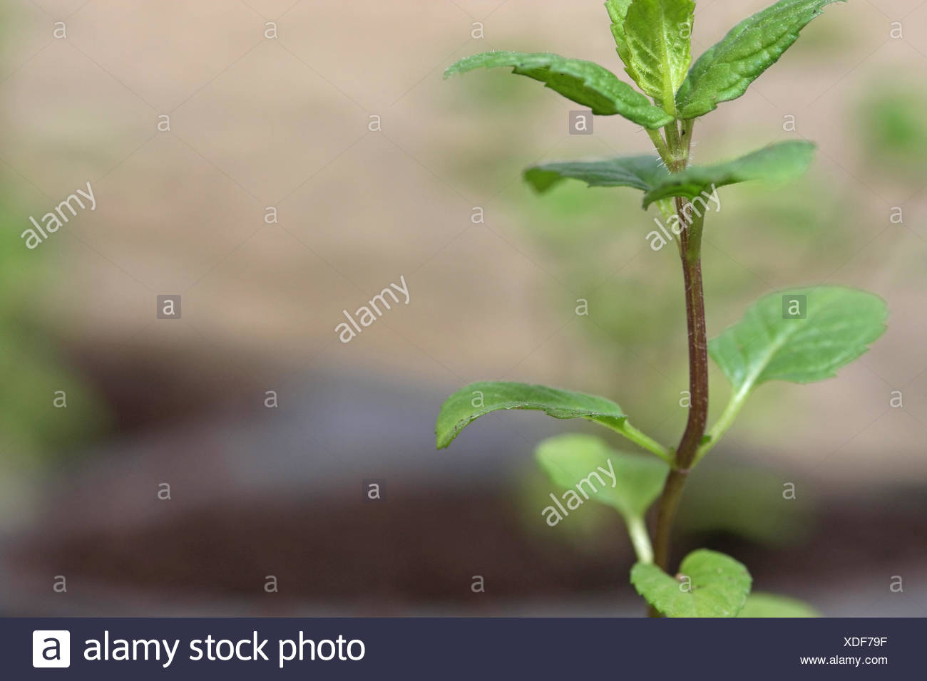 Reared of young mint plant - Stock Image