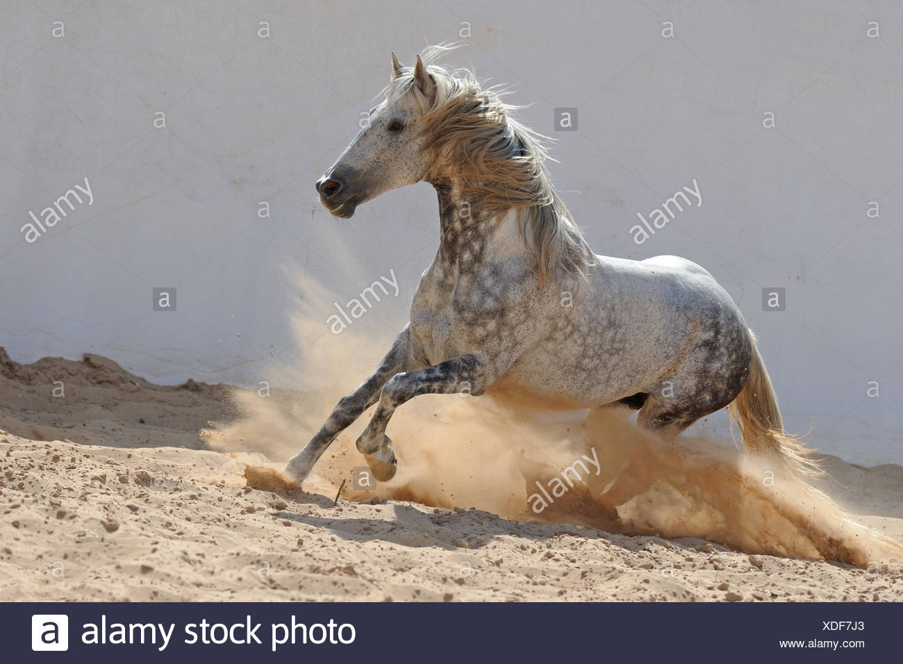 Barb Horse. Dappled gray stallion galloping in a paddock. Tunesia - Stock Image