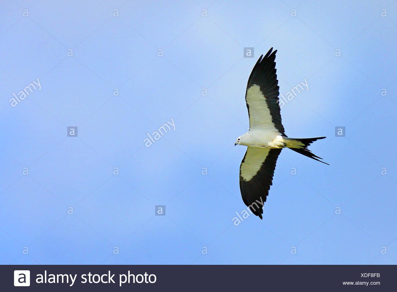swallow-tailed kite (Elanoides forficatus), in flight, USA, Florida Stock Photo