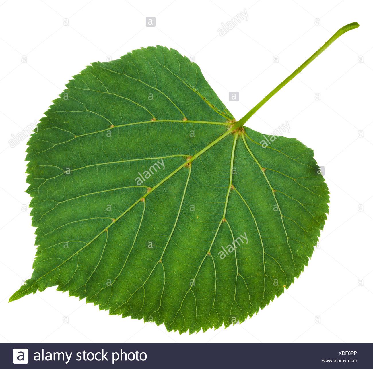 back side of green leaf of Tilia platyphyllos tree Stock Photo