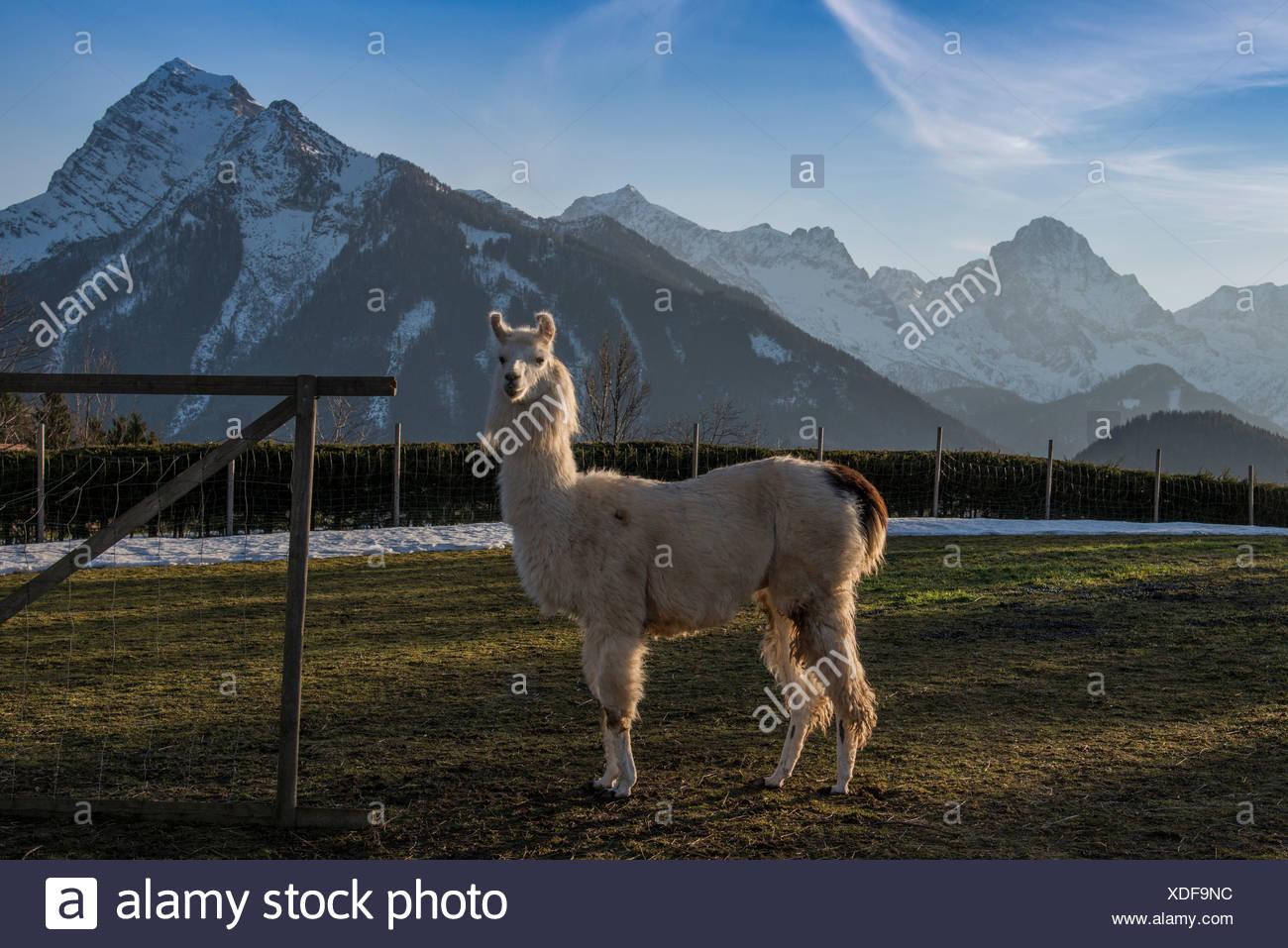 Llama (Lama glama), Vorderstoder, Upper Austria, Austria - Stock Image
