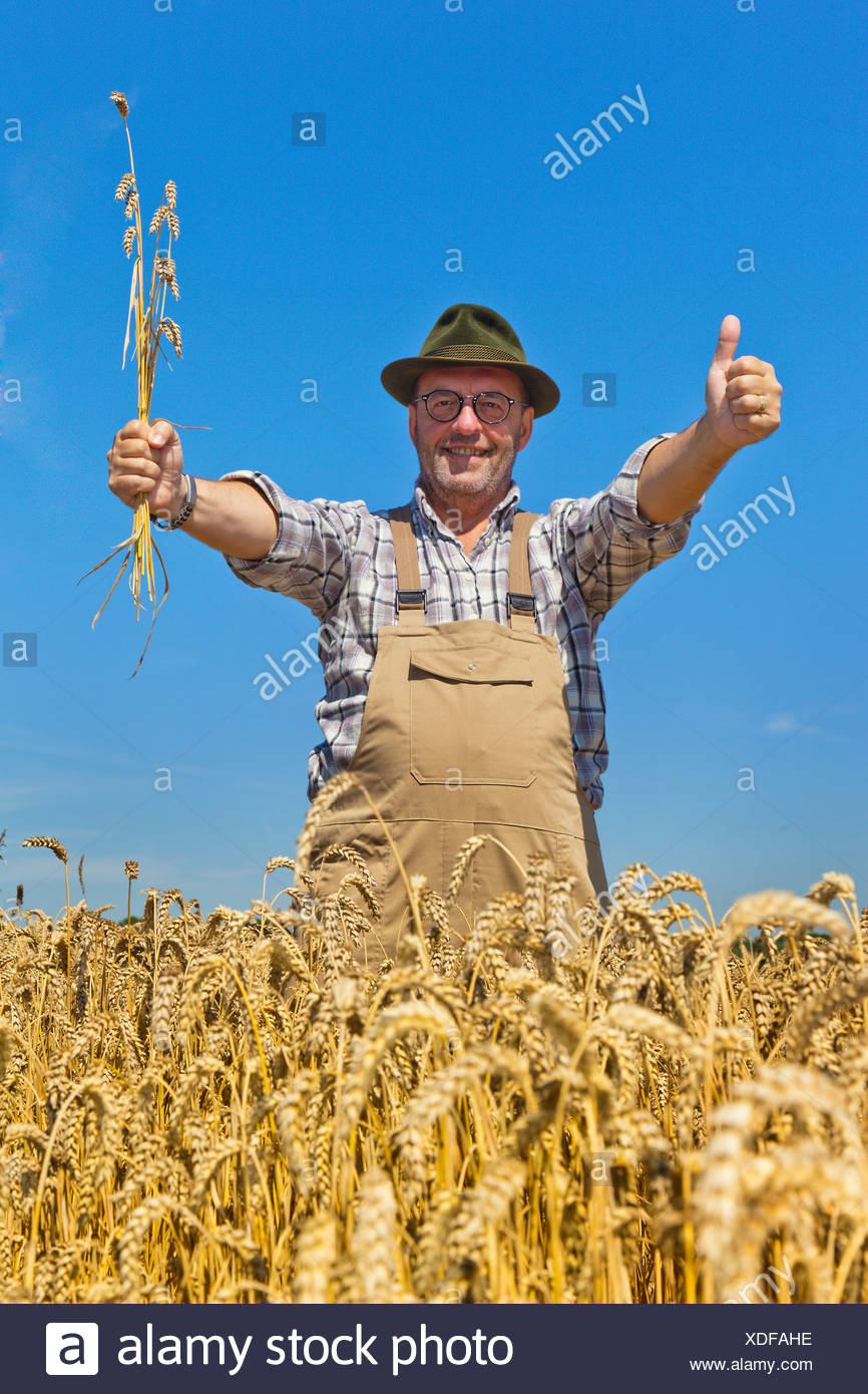 bread wheat, cultivated wheat (Triticum aestivum), farmer contently standing in his mature wheat field raising the thumb and grain ears, Germany - Stock Image